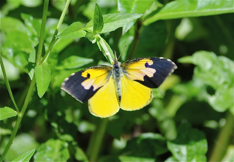 male califorina dogface butterfly