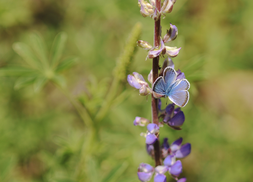 melissa blue butterfly on lupine