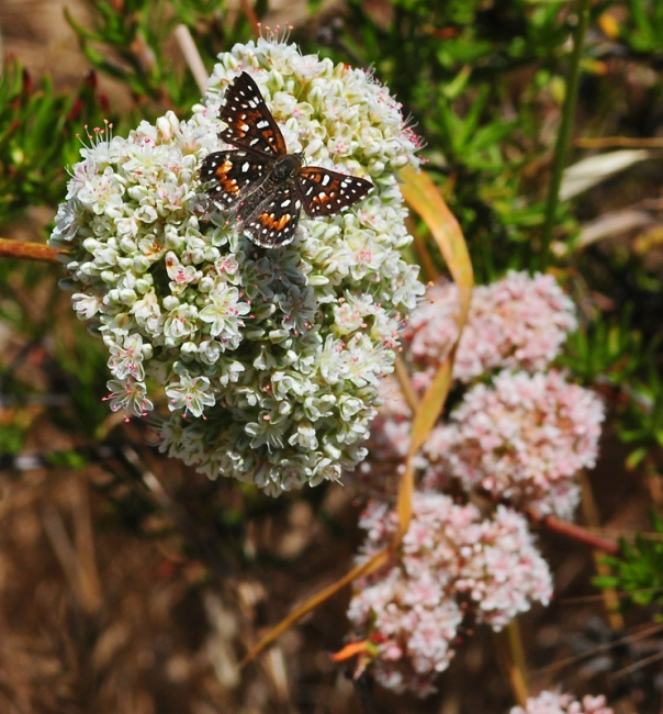 metalmark butterfly on california buckwheat