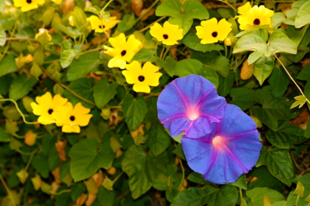 morning glory flower vine