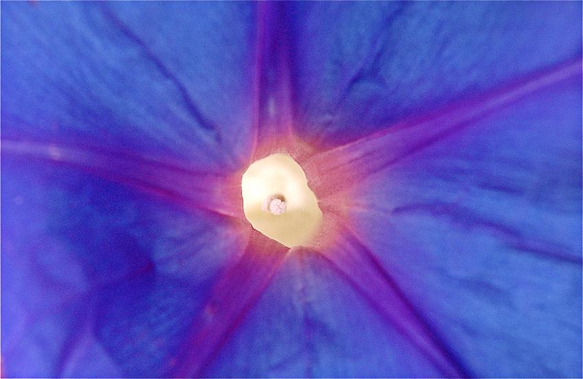 morning glory vine close up