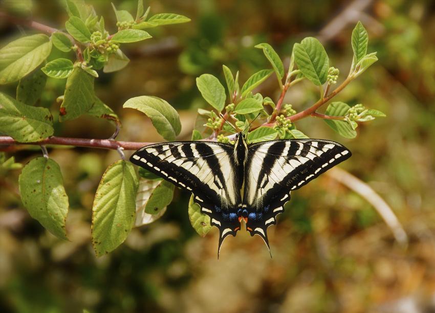 Pale Swallowtail Butterlfy