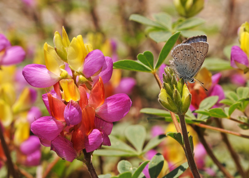 silvery blue butterfly on harlequin lupine
