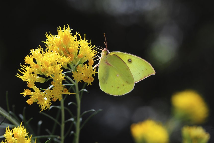 sulphur butterfly female califorina dogface
