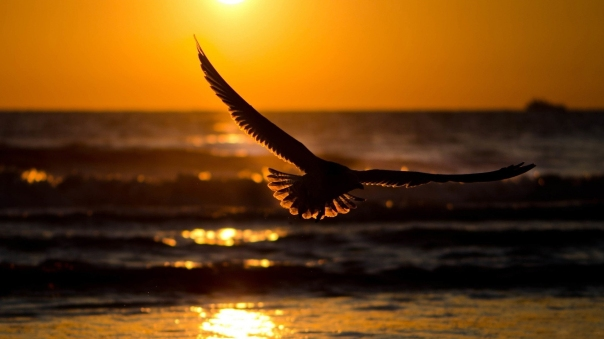bird ocean sunset wings lit up